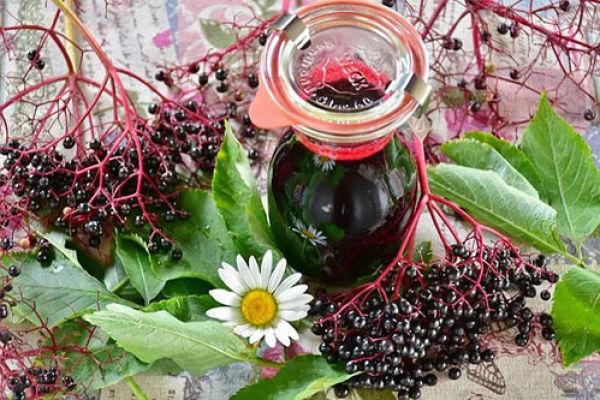 Ягоды бузины черной— лечебные свойства и противопоказания