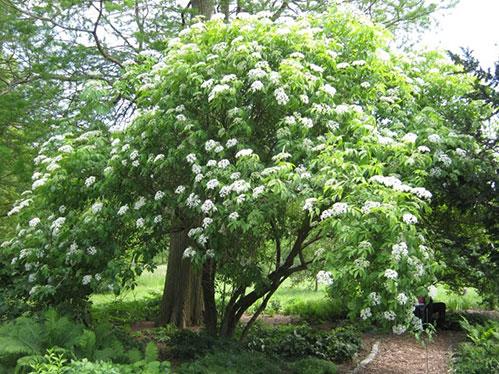 Бузина дерево