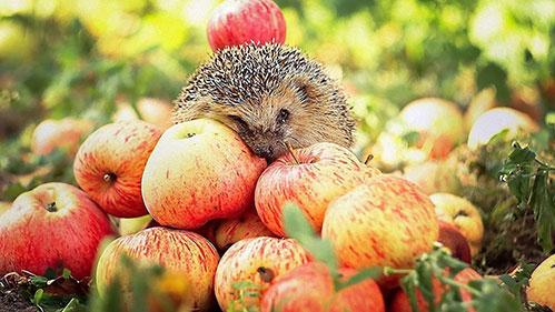 Яблоки и еж