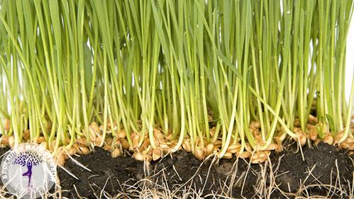 Пшеница проросла