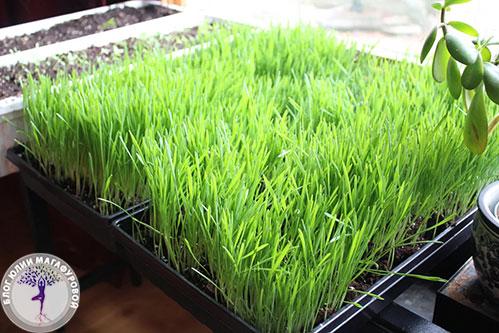 Трава пшеницы молодая