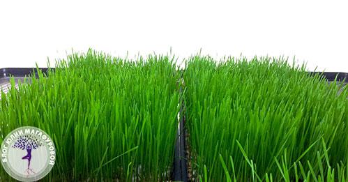 Травка пшеницы