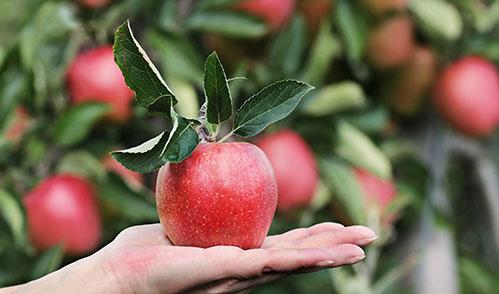 Яблоко на руке