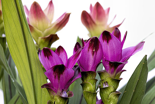 Цветок куркумы